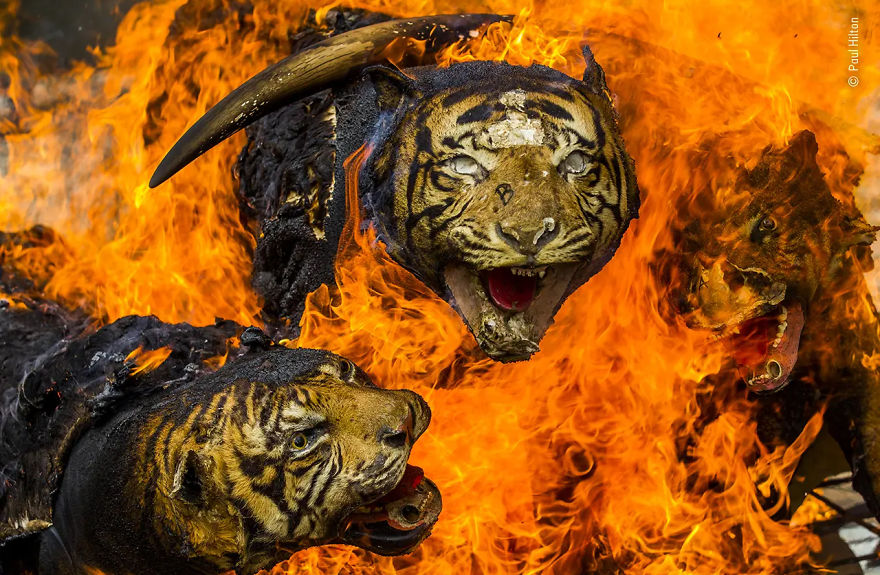 "Wildlife Photojournalism Highly Commended: ""Tiger Tiger, Burning Out"" By Paul Hilton"