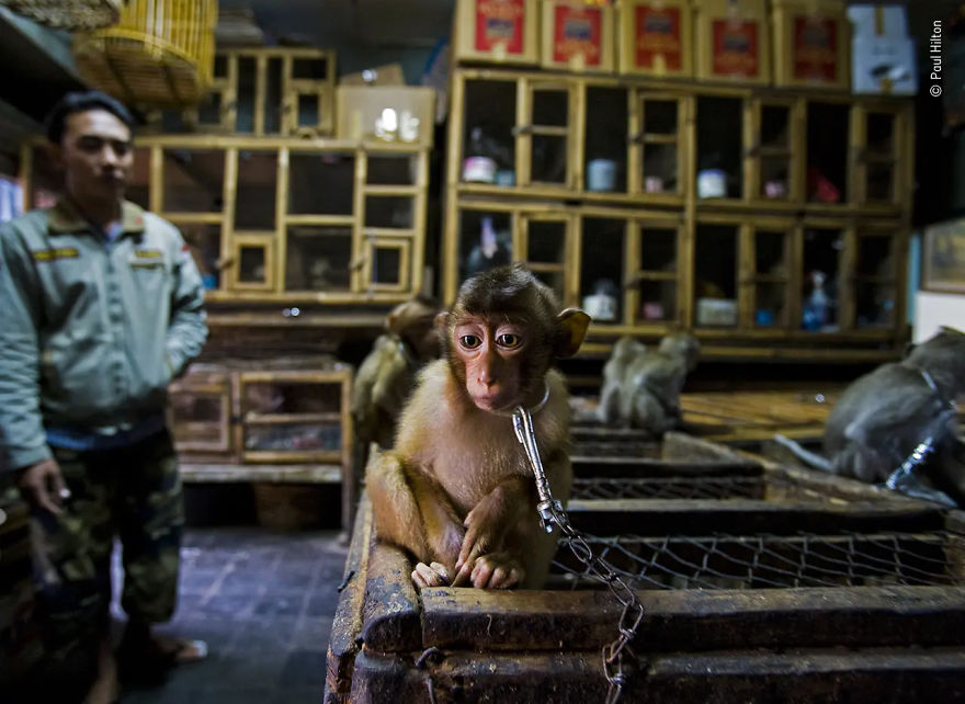 "Wildlife Photojournalist Story Award Winner: ""Backroom Business"" By Paul Hilton"