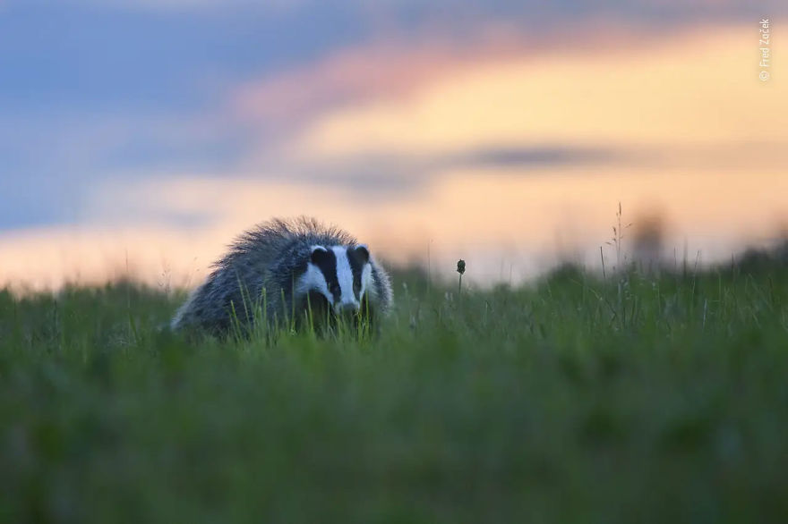 "10 Years And Under Highly Commended: ""Badger Caught Worming"" By Fred Začek"