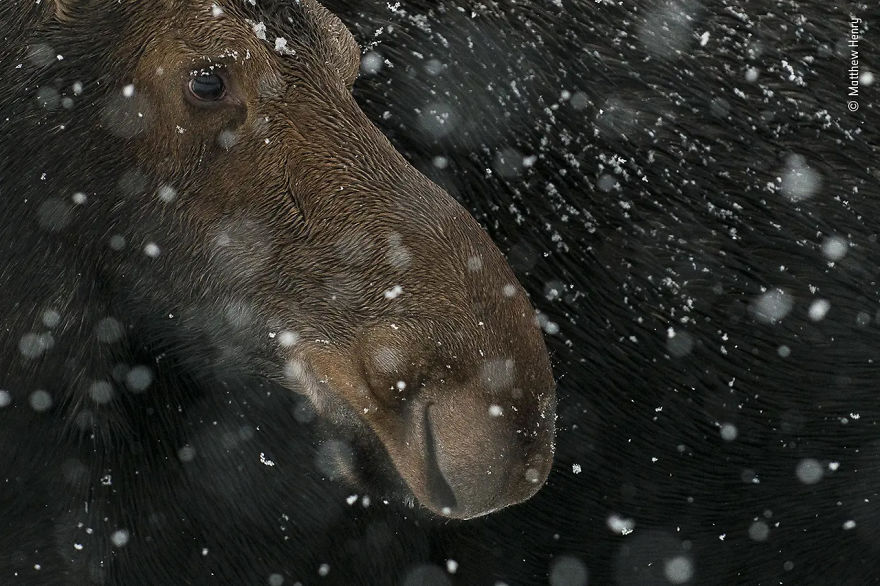 "15-17 Years Young Highly Commended: ""Snow Moose"" By Matthew Henry"