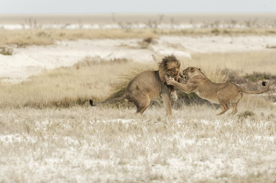 Lion And Lioness Greet