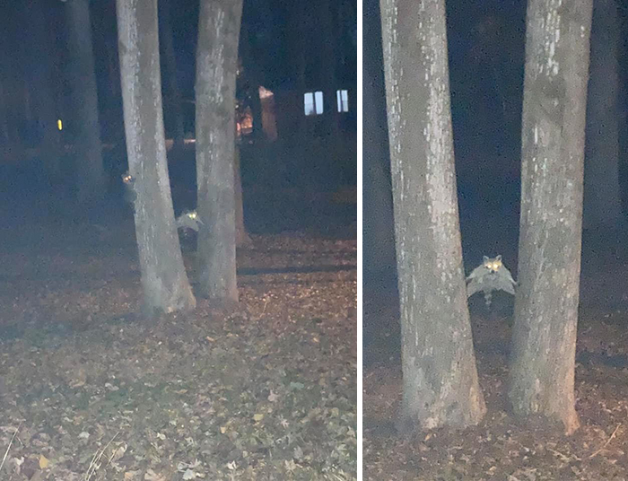 I Knew There Were Raccoons In The Tree But I Couldn't See What They Were Doing Until The Flash Came On/Pictures Came Out...