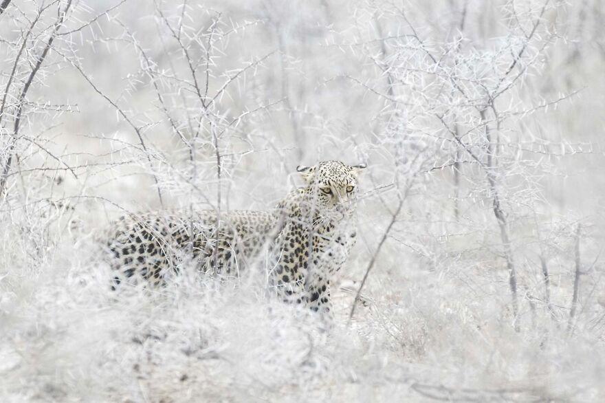 Leopard And Brambles