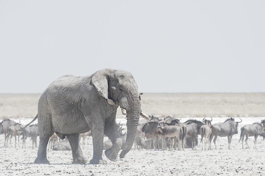 Bull Elephant And Wildebeest