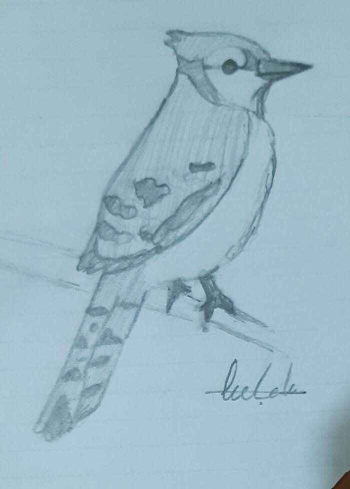 My Blue Jay Sketch