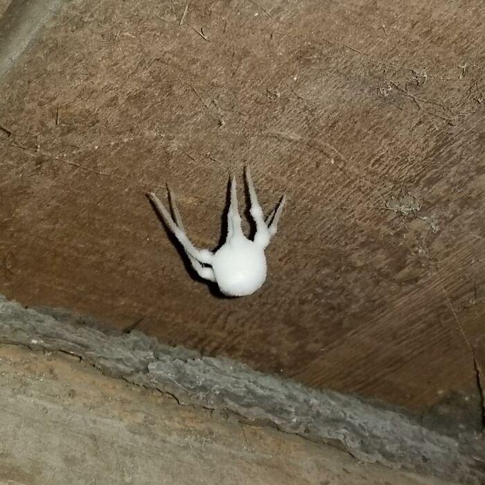Araña medio muerta cubierta de hongos. Aún se mueve