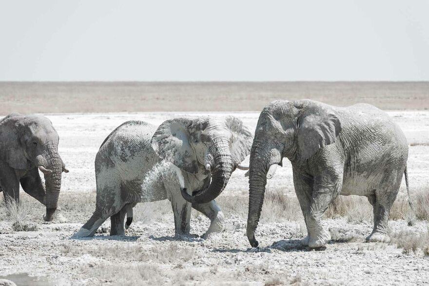 Bull Elephant Mud Spraying