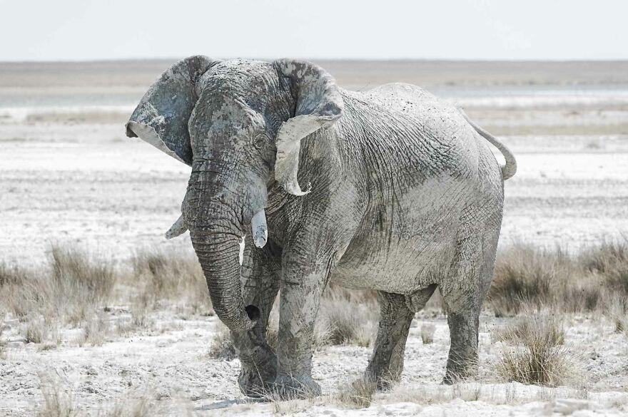 Bull Elephant Edge Of Pan