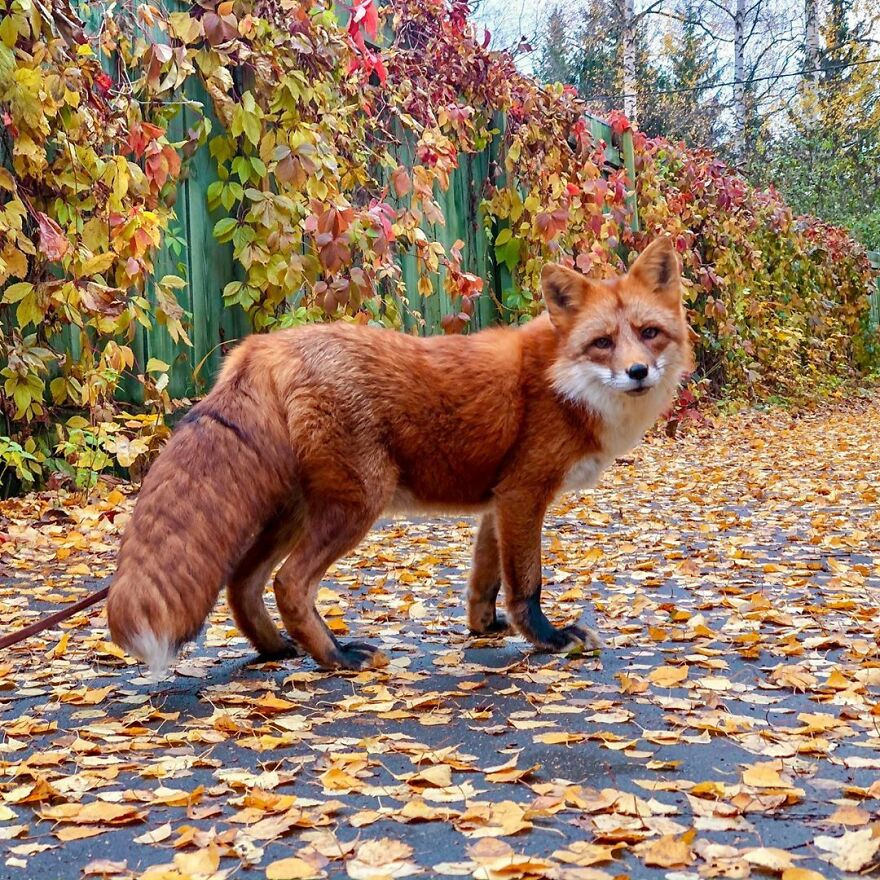 5 Years Ago This Adorable Fox Was Rescued From A Fur Market