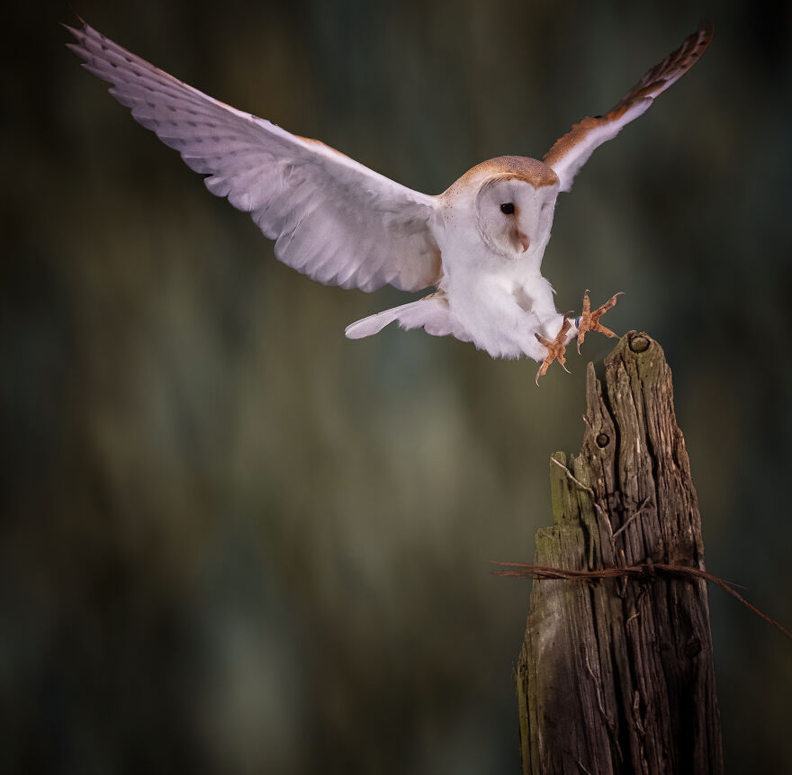 The Barn Owl Has Landed