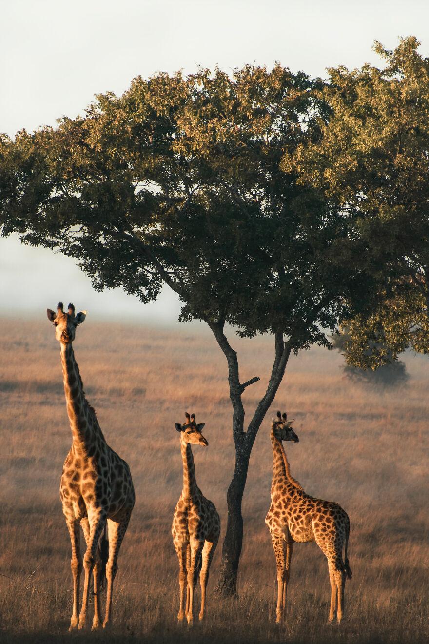A Tower Of Giraffe