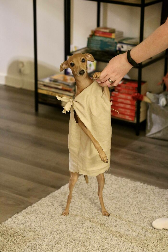 It's My Dog's Birthday Today. Here She Is Dressed Up As Dobby For Halloween