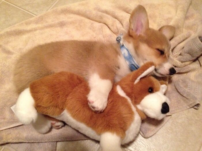 Sleeping Baby Corgi With His Toy