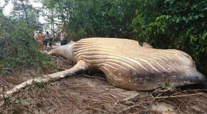 Ballena jorobada muerta en medio del bosque del Amazonas