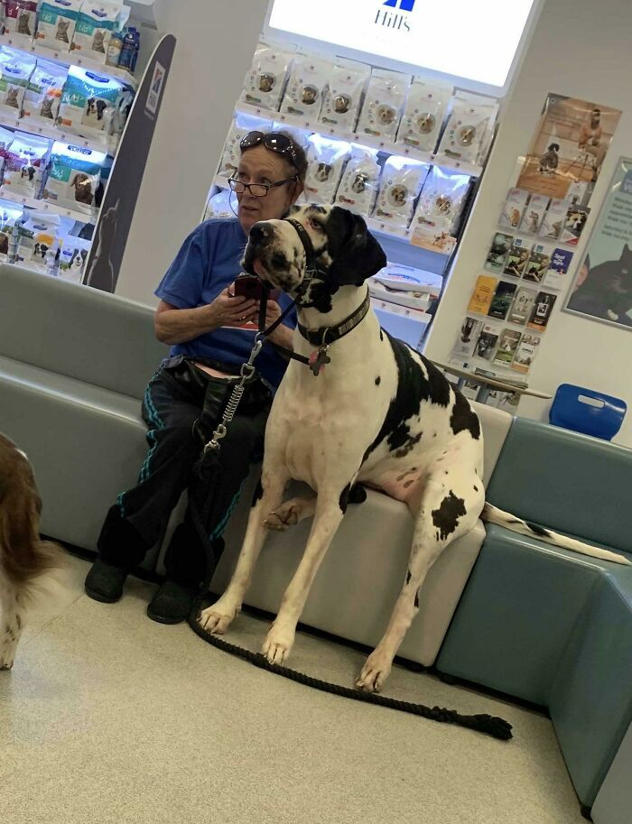 Saw A Gentle Giant At The Vets. She Was A Darling And Sat Down With Her Owner While They Waited