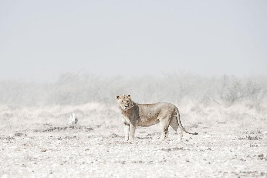 Windswept Lion