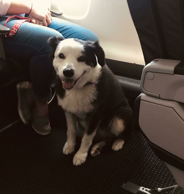 This Girl Named Panda Smiled At Me Like This For Her Entire Plane Ride Shift (Service Dog)