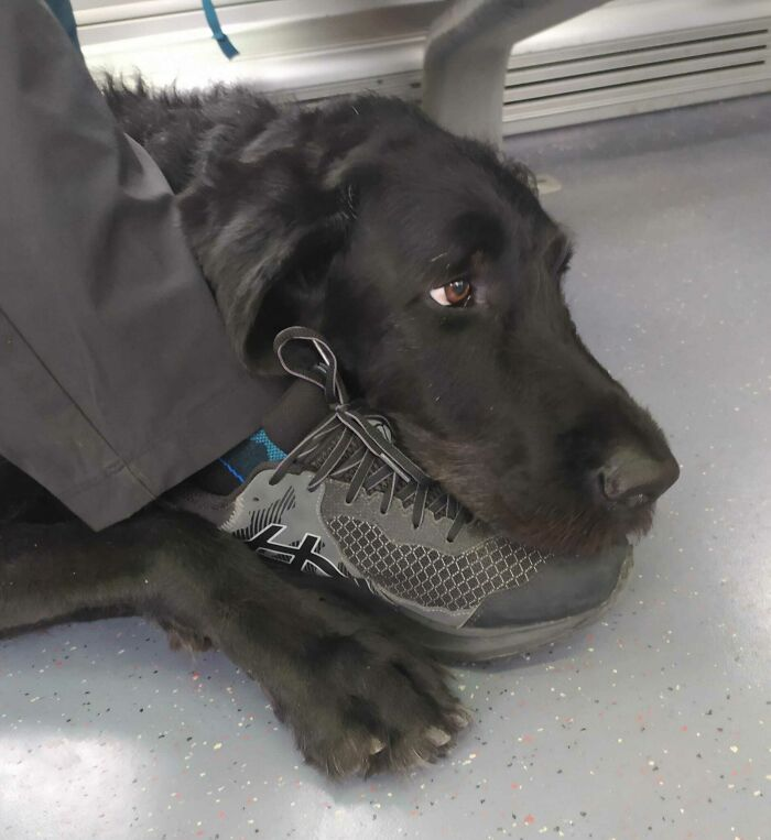 My Blind Stepdad's Guide Dog Axel. They Went On A Week Long Pilgrimage And Are Now Returning Home. This Was Him On The Train Hugging My Stepdad's Foot. Such A Good Boi