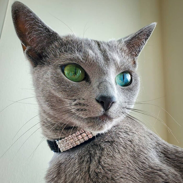 Dina The Russian Blue Is So Beautiful!