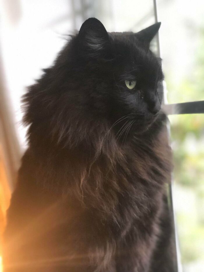 When We Rescued Him From The Humane Society For $5 He Was Shaved And Looked Like A Mangy Stray. Little Did We Know That Bagheera Was Actually A Majestic Norwegian Forest Cat