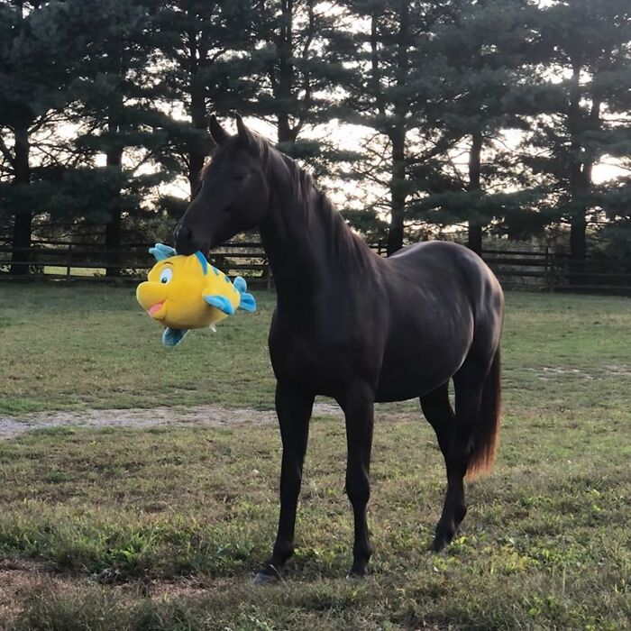 My Friend's Horse Showing Off His New Plushy. He Is Very Proud Of It.