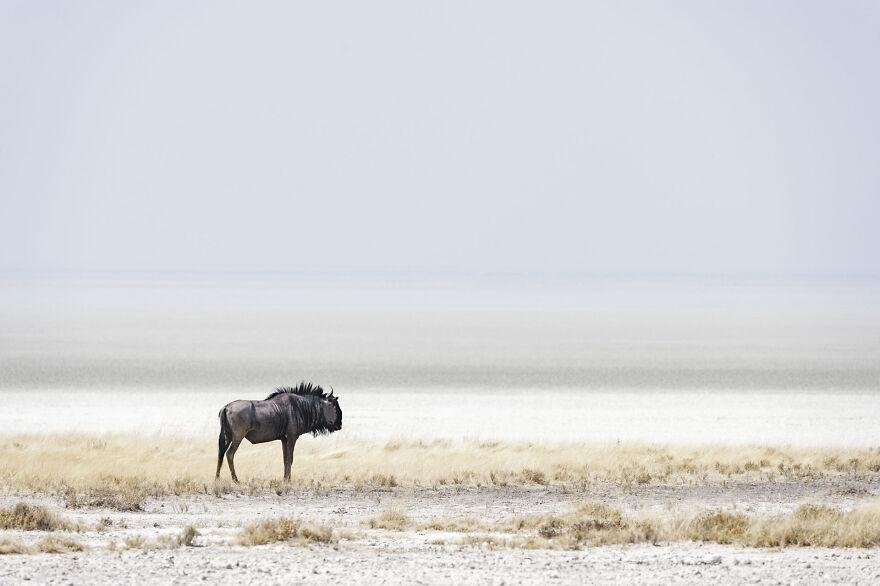 Blue Wildebeest Edge Of Pan