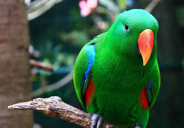 800px-Eclectus_roratus_-Bali_Zoo_Indonesia_-male-8a-5fb5d8efb2ba9.jpg