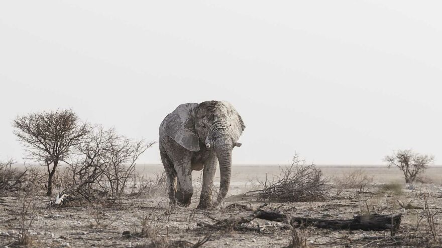Young Bull Elephant Searching For Food