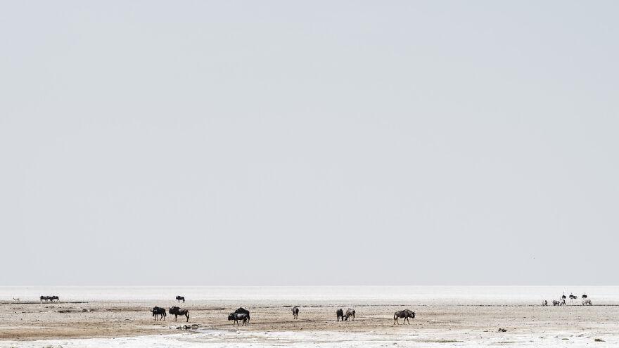 Wildebeest On Edge Of Pan