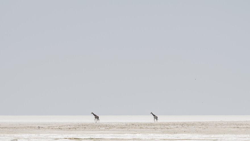Giraffe On Edge Of Pan