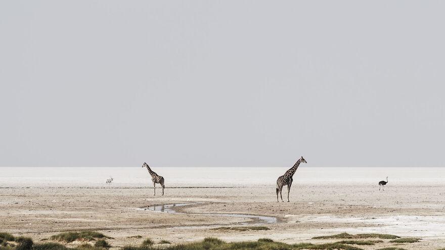 Giraffe Drinking On Edge Of Pan