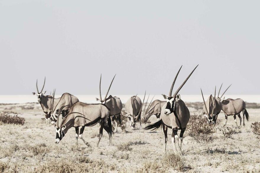 Gemsbok/Oryx Grazing