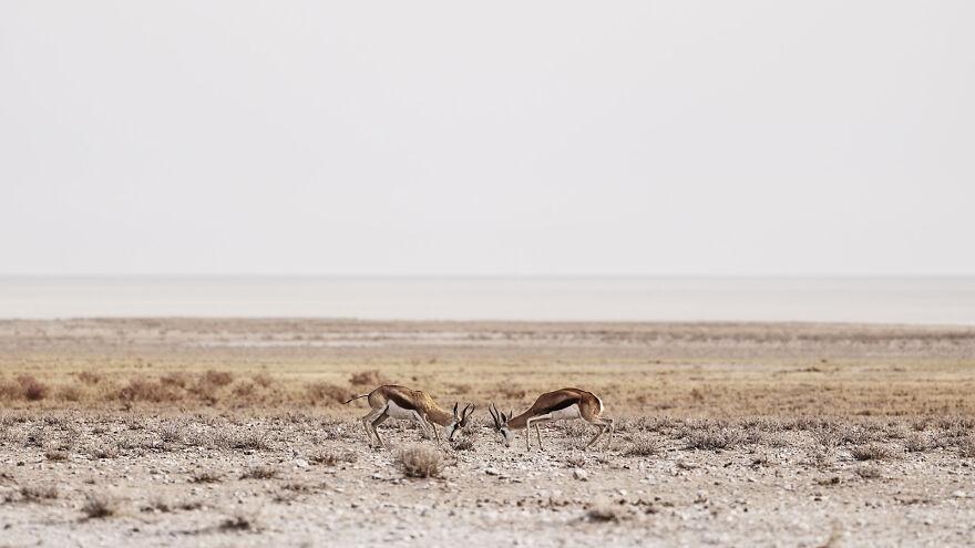 Springbok Fighting Over Territory