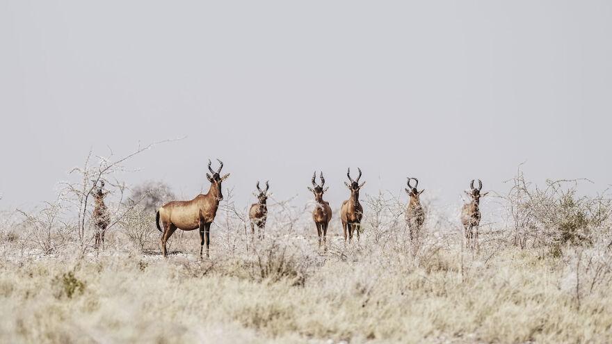 Herd Of Hartebeest