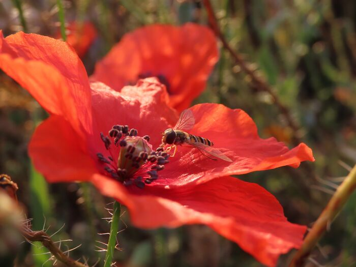 Hoverfly On Poppy Seed
