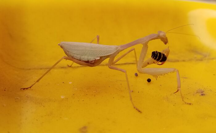 Just A Mantis, Casually Dismantling A Wasp On My Recycle Bin.