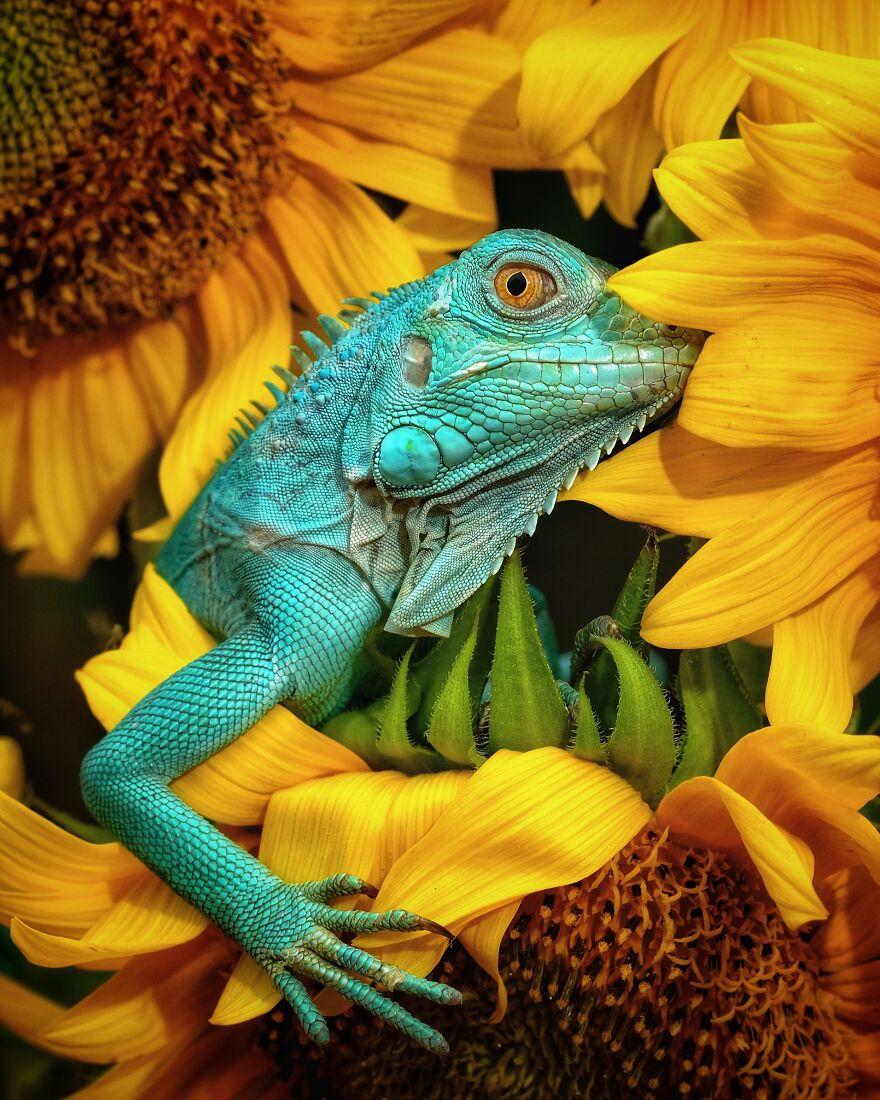 Winner: Iguana