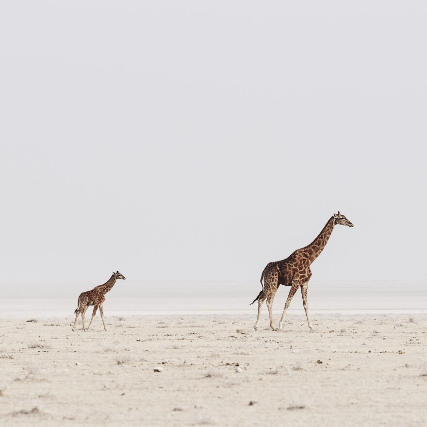 Giraffe Mother And Baby On Edge Of Pan