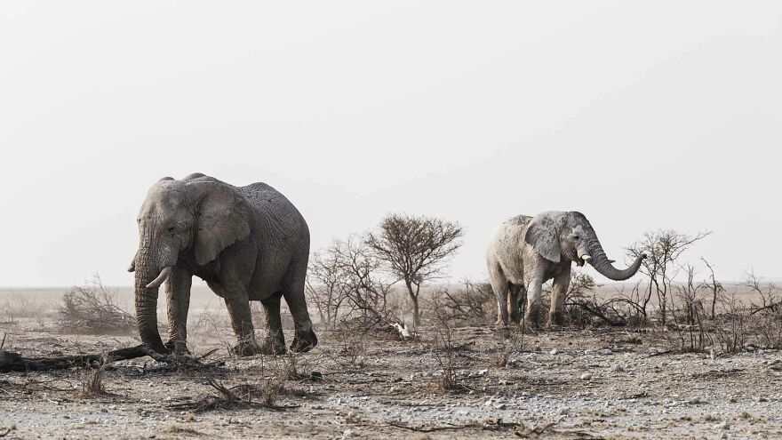 Bull Elephants Browsing On Leaves On Edge Of Pan