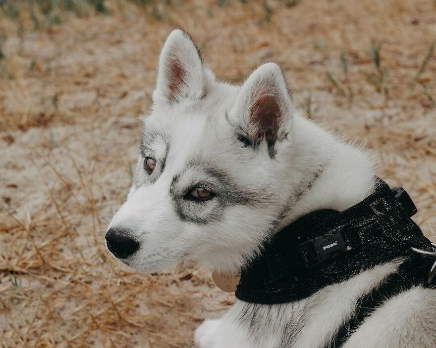 Meet Tsuki, The Siberian Husky With Goggles!