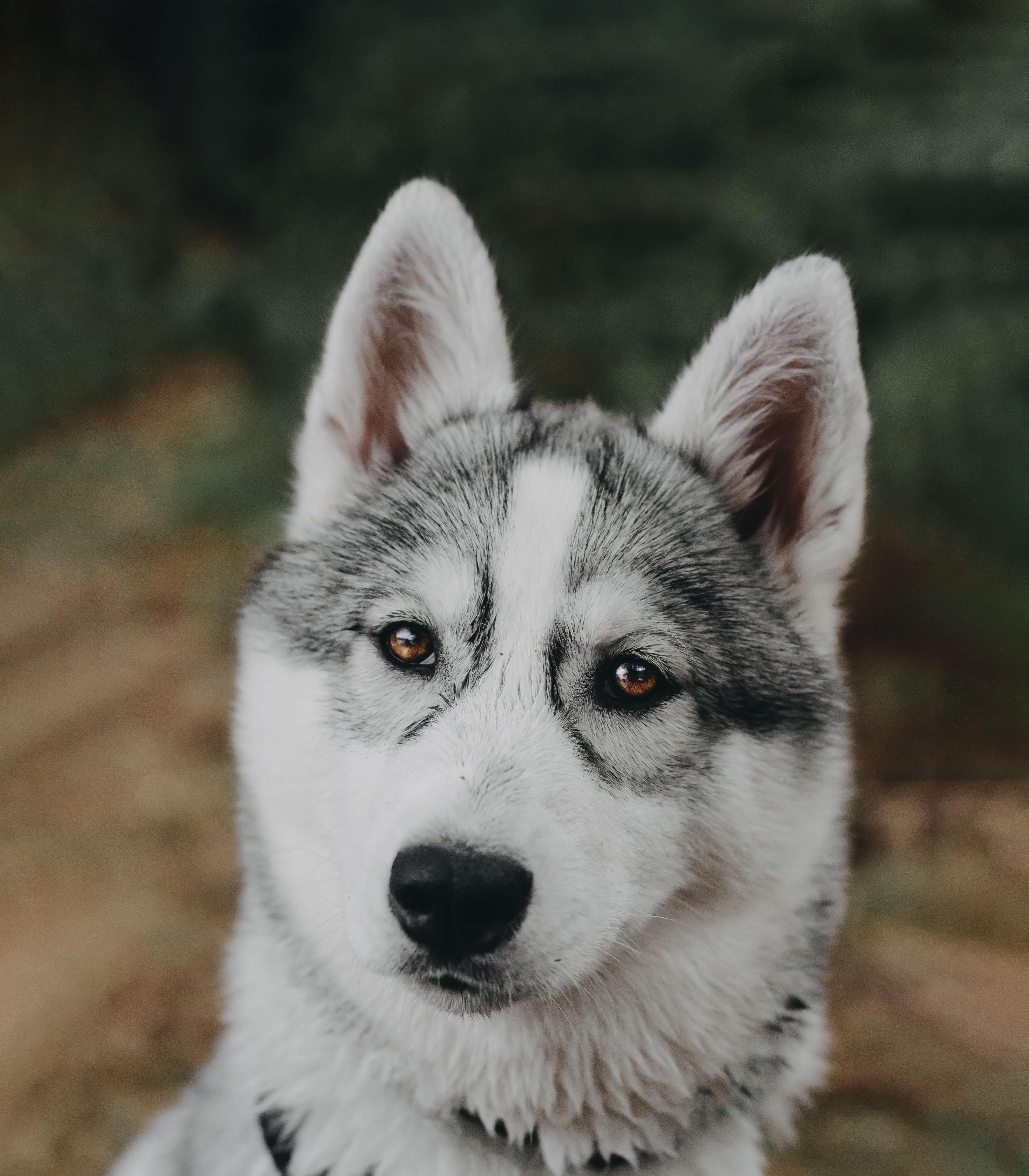 Meet My Dog Tsuki, The Siberian Husky With Goggles!