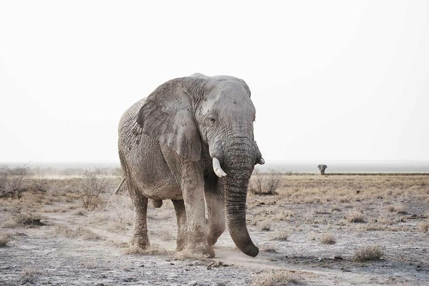 Massive Bull Elephant On Edge Of Pan
