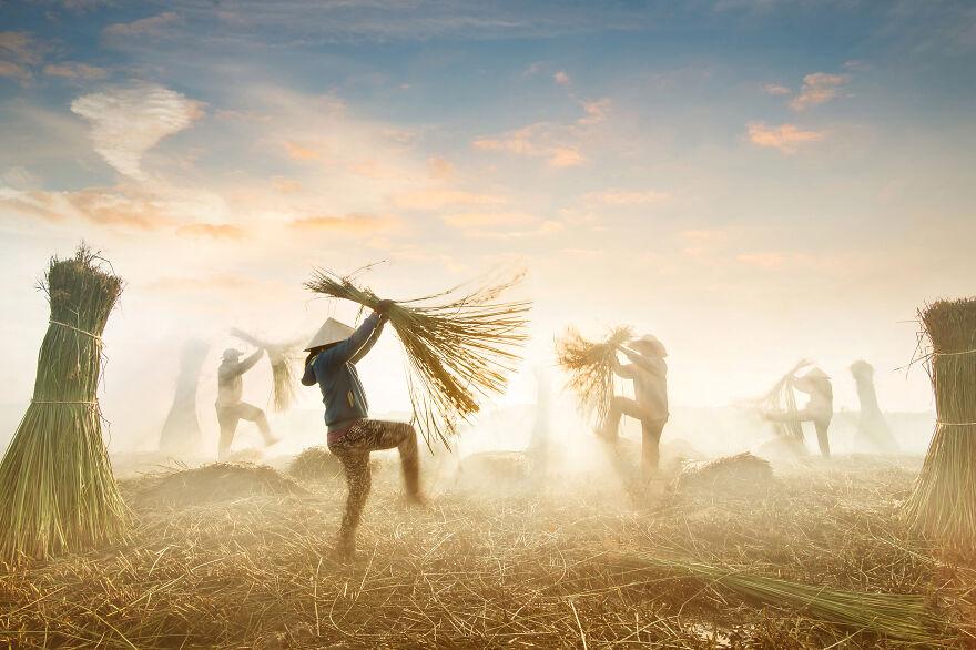 Sedge Harvest