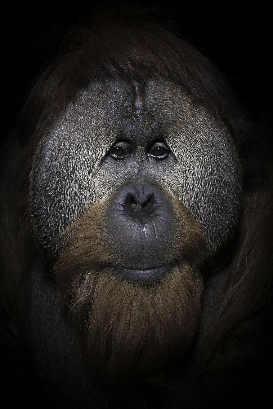 Orangutans On A Thin Vine
