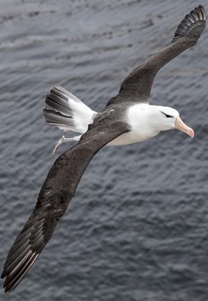 albatross-master-aviator-ocean-winds.jpg