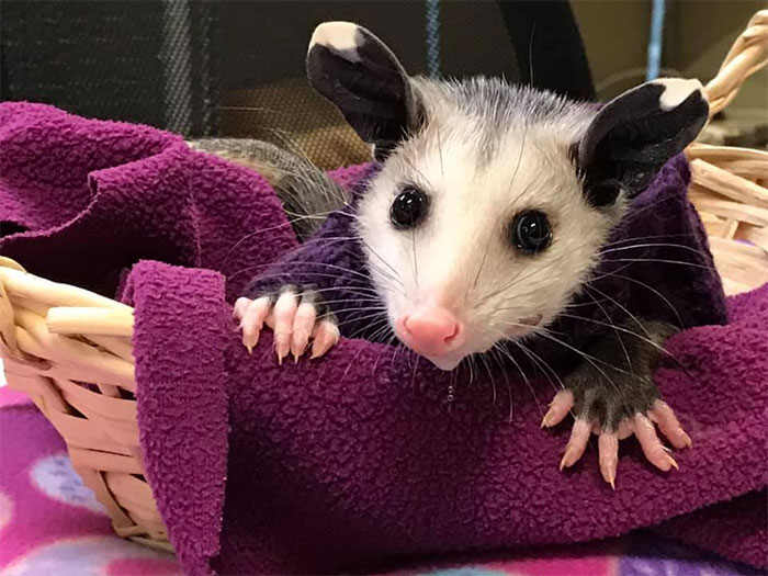 Hairless Opossum Was Saved In Lubbock From Cold Wilderness, And The People Are Knitting Sweaters For Her