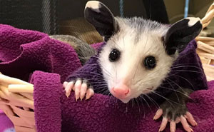 People Are Knitting Sweaters For This Tiny Opossum Who Lost Its Hair Due To A Disease
