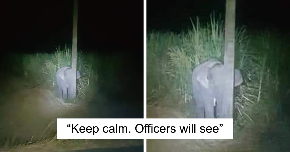 Adorable Baby Elephant Gets Caught Eating Sugarcane Tries To Hide Behind A Narrow Light Pole Bored Panda Free for commercial use no attribution required high quality images. adorable baby elephant gets caught