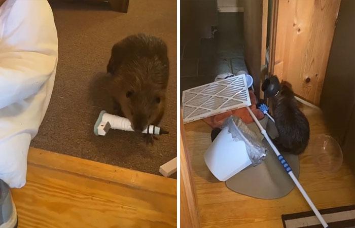 """Rescatan a una cría de castor y se dedica a construir """"diques"""" en la casa de sus cuidadores usando todo lo que encuentra"""