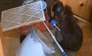 Baby Beaver Gets Rescued, Ends Up Building 'Dams' In Rescuer's Home Using Random Household Items